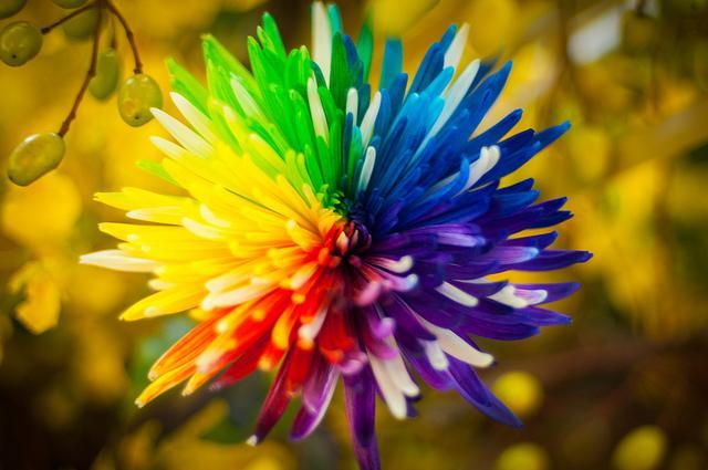 rare-rainbow-color-chrysanthemum-flower-seeds-tradeonline-1412-25-TradeOnline@1